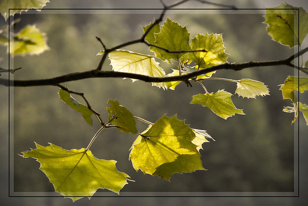 June 20 - Sycamore Leaves In the Evening Light<br /> <br /> Thanks for your kind comments on my buoy image - they are always so much appreciated.