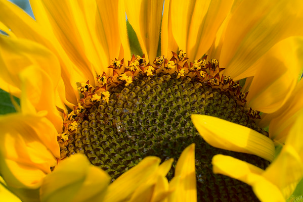 Sept 30 - Sunflower bloom<br /> <br /> Saying good bye to summer - this was an image I used in my Sunflower Collage a few weeks back: