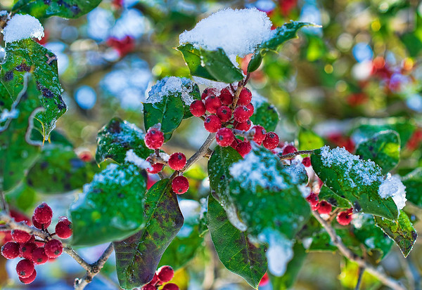 Jan 25 - Holly Berries