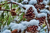 Cold Pinecones