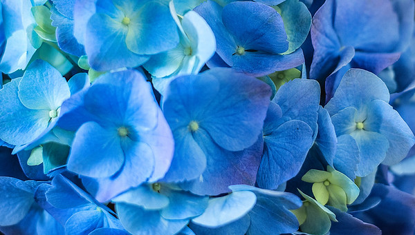 April 11 - Blue Hydrangea<br /> <br /> I love this blue color!!  I was in a garden store that had these potted hydrangeas  and I fell in love with this color!