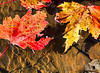 Floating Maple Leaves