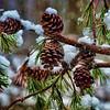 Feb 17 - Pine Cones or Snow Cones?
