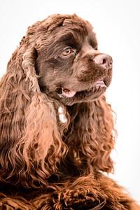 JoJo (Brown Spaniel)-4