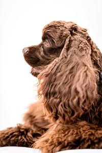 JoJo (Brown Spaniel)-7