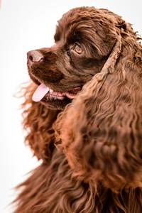 JoJo (Brown Spaniel)-9