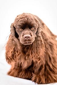 JoJo (Brown Spaniel)-15