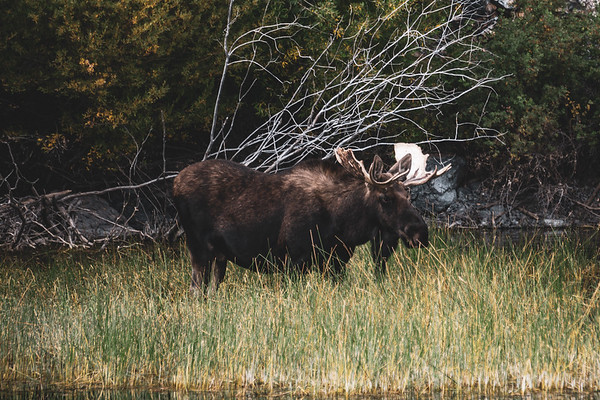 Lost River Moose