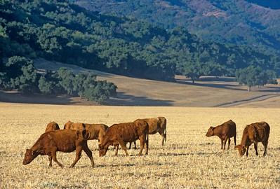 Cows Graze off Hwy 150, Ojai