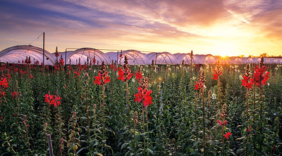 Snapdragon Field at Sunset, South Oxnard