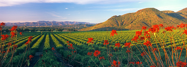 Orchard and Poinsettias, Camarillo