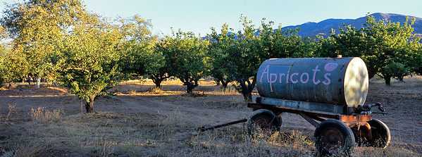 Ojai Apricot Orchard