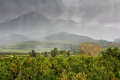Orange Grove in a Rain Storm