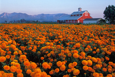Red Barn and Marigolds, Santa Paula