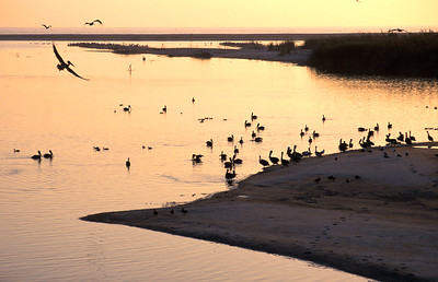 Pelicans at the Santa Clara River Mouth