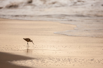 Sandpiper at Dawn