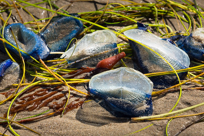 Velella at Mondo's Beach