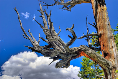 Old Tree, Dream Lake, Rocky Mountain Nat. Park