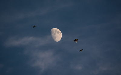 Birds chasing insects in the moonlight