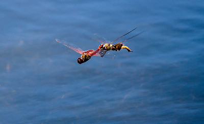 Dragonfly romance, Wichita Mountains