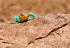 Collared Lizard Wichita Mountains