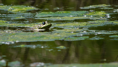 Bullfrog, Sequoyah Park