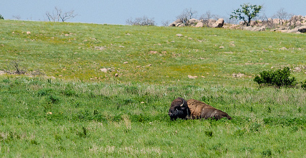 Buffalo, Wichita Mountains Wildlife Refuge