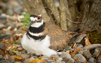 Killdeer and chick