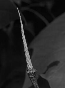 Tulip Poplar stem
