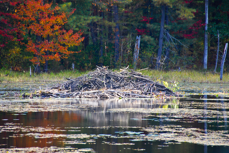Beaver Den next to the Nashua River Rail Trail in the fall.
