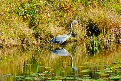 Heron seen next to the Nashua River Rail Trail in the fall.