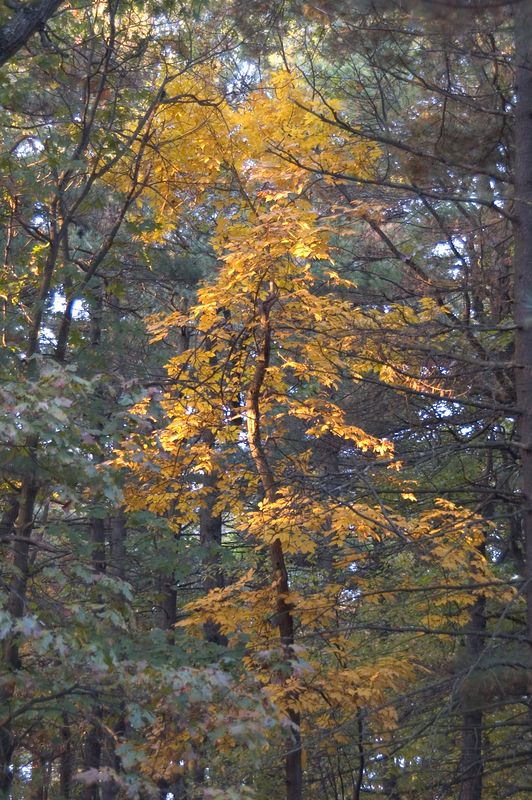 "<b>Crooked tree reaches towards morning sun</b>   (Oct 27, 2004, 07:35am)  <p align=left>This tree is growing in Prospect Hill Park.  On the morning of October 17th, I went over to Prospect Hill Park early in th emorning to take photographs of the sunrise (see <a href=""http://photo.gouldhome.com/gallery/266257/1/10514363/Large"">as an example</a>).  On my way walking back to my car, I spotted this tree by the side of the road.  If you look closely, you can see patches of early morning light reaching parts of the tree.</p>"
