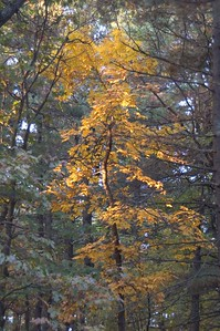 Crooked tree reaches towards morning sun   (Oct 27, 2004, 07:35am)  This tree is growing in Prospect Hill Park.  On the morning of October 17th, I went over to Prospect Hill Park early in th emorning to take photographs of the sunrise (see as an example).  On my way walking back to my car, I spotted this tree by the side of the road.  If you look closely, you can see patches of early morning light reaching parts of the tree.