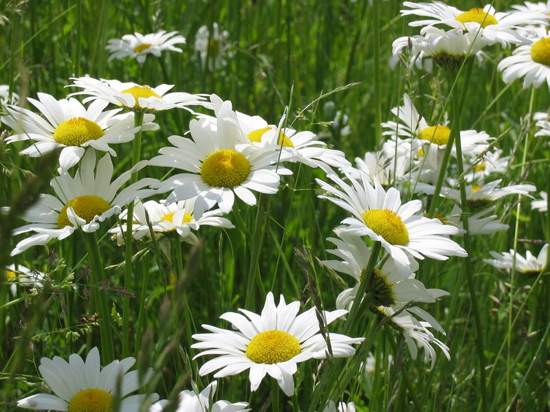 <b>Daisies at the Waltham YMCA</b>   (Jun 15, 2003, 12:04pm)