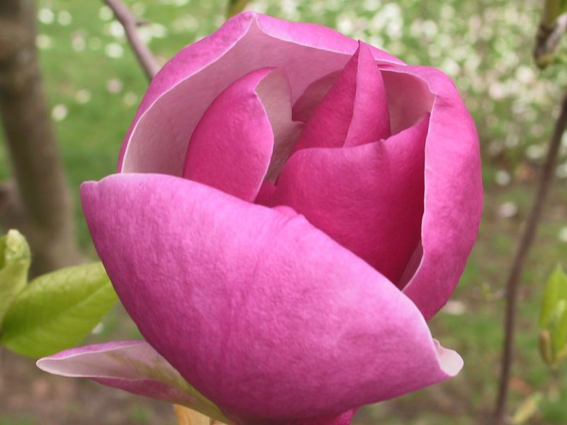 <b>Another magnolia blossom</b>   (Apr 20, 2002, 08:06am)