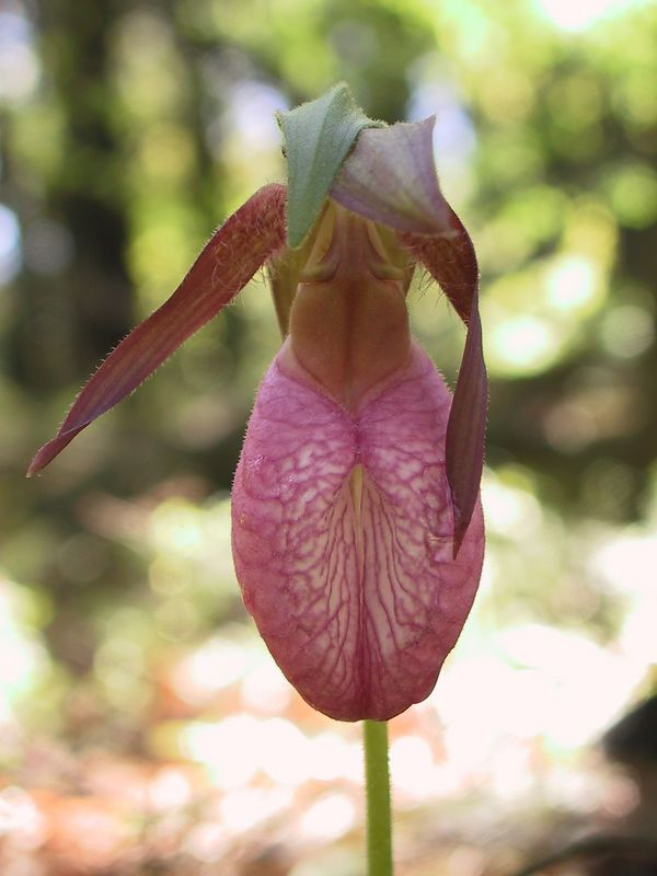 <b>Lady Slipper in the shade</b>   (May 19, 2002, 07:35am)