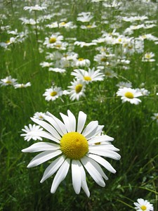 Single daisy in field   (Jun 15, 2003, 12:10pm)