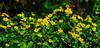 <b>Marsh Marigolds</b>   (Apr 30, 2006, 01:58pm)