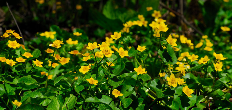 <b>Marsh Marigolds</b>   (Apr 30, 2006, 01:58pm)