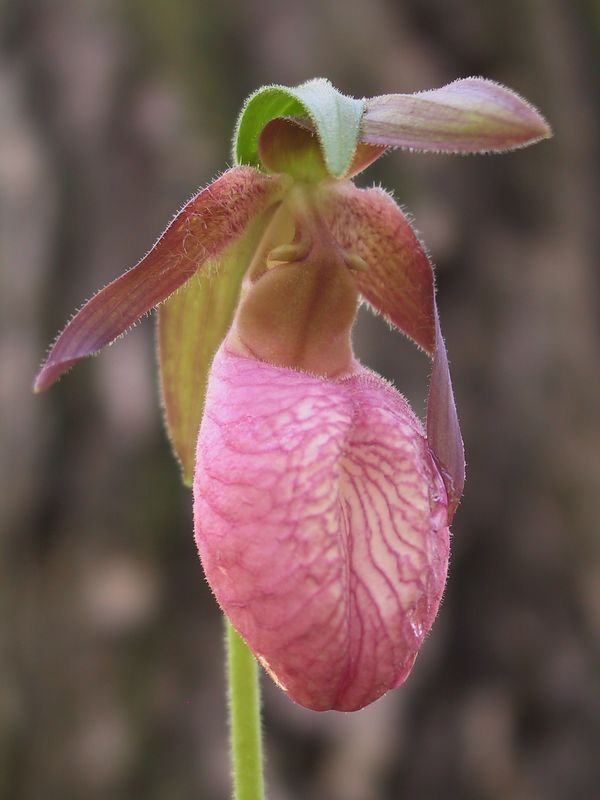 <b>Lady Slipper</b>   (May 19, 2002, 07:48am)