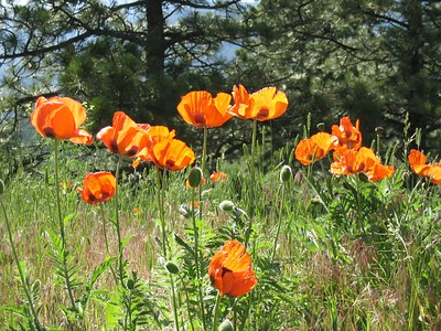 Oriental poppies in the sun   (Jun 22, 2003, 09:51am)