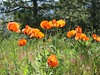 <b>Oriental poppies in the sun</b>   (Jun 22, 2003, 09:51am)