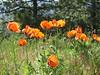 <b>Oriental poppies in the sun</b>   (Jun 22, 2003, 09:51am)