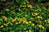 <b>Marsh Marigolds</b>   (Apr 30, 2006, 01:53pm)