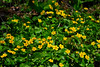 <b>Marsh Marigolds</b>   (Apr 30, 2006, 01:53pm)