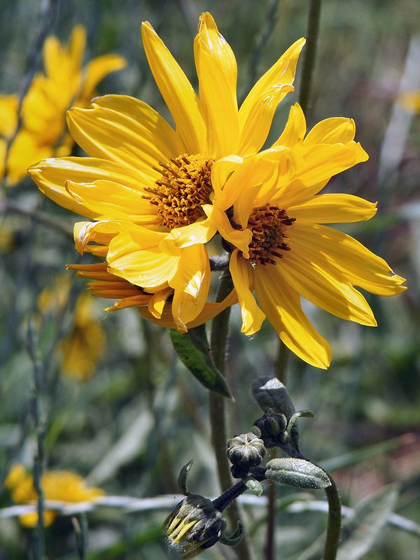 <b>Coreopsis in Grandma's Judy's yard</b>   (Jun 30, 2003, 12:55pm)