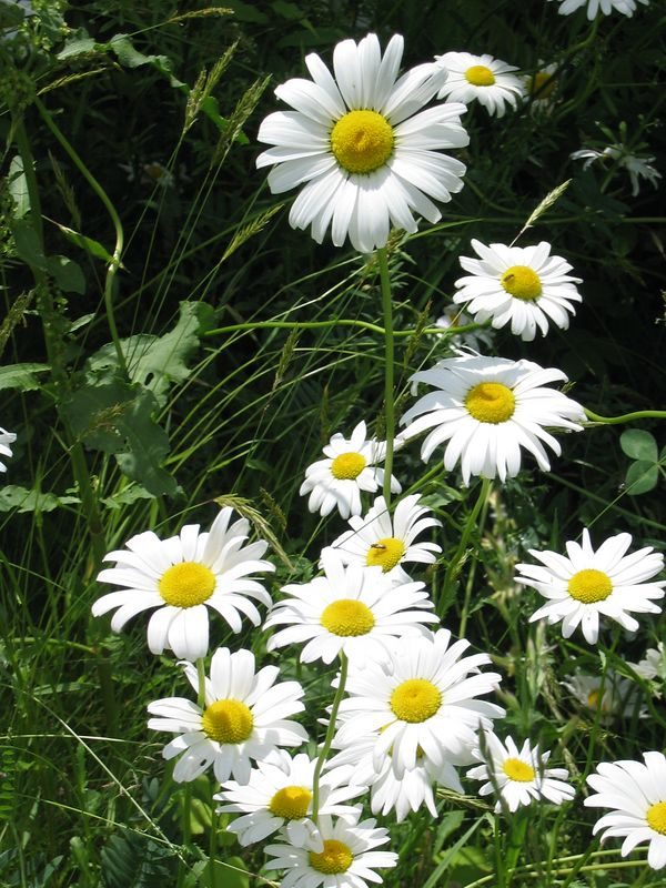 <b>Standout daisy</b>   (Jun 15, 2003, 12:09pm)