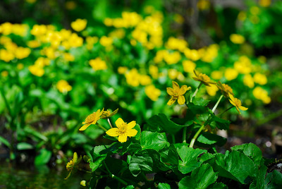 Marsh Marigolds   (Apr 30, 2006, 01:59pm)