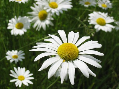 Horizontal daisy composition   (Jun 15, 2003, 12:06pm)