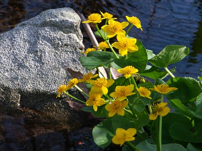 Marsh Marigolds   (May 04, 2003, 07:43am)